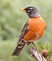 Animals and Witchcraft - Robin Redbreast