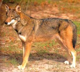 Slike rdečega volka Wolf.h5